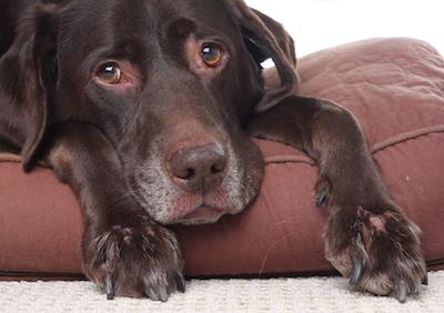 old dog euthanize
